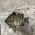 ムッシューむらむらさんの沖縄県でのスズメダイの釣果写真