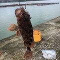 mavさんの宮崎県串間市でのカサゴの釣果写真