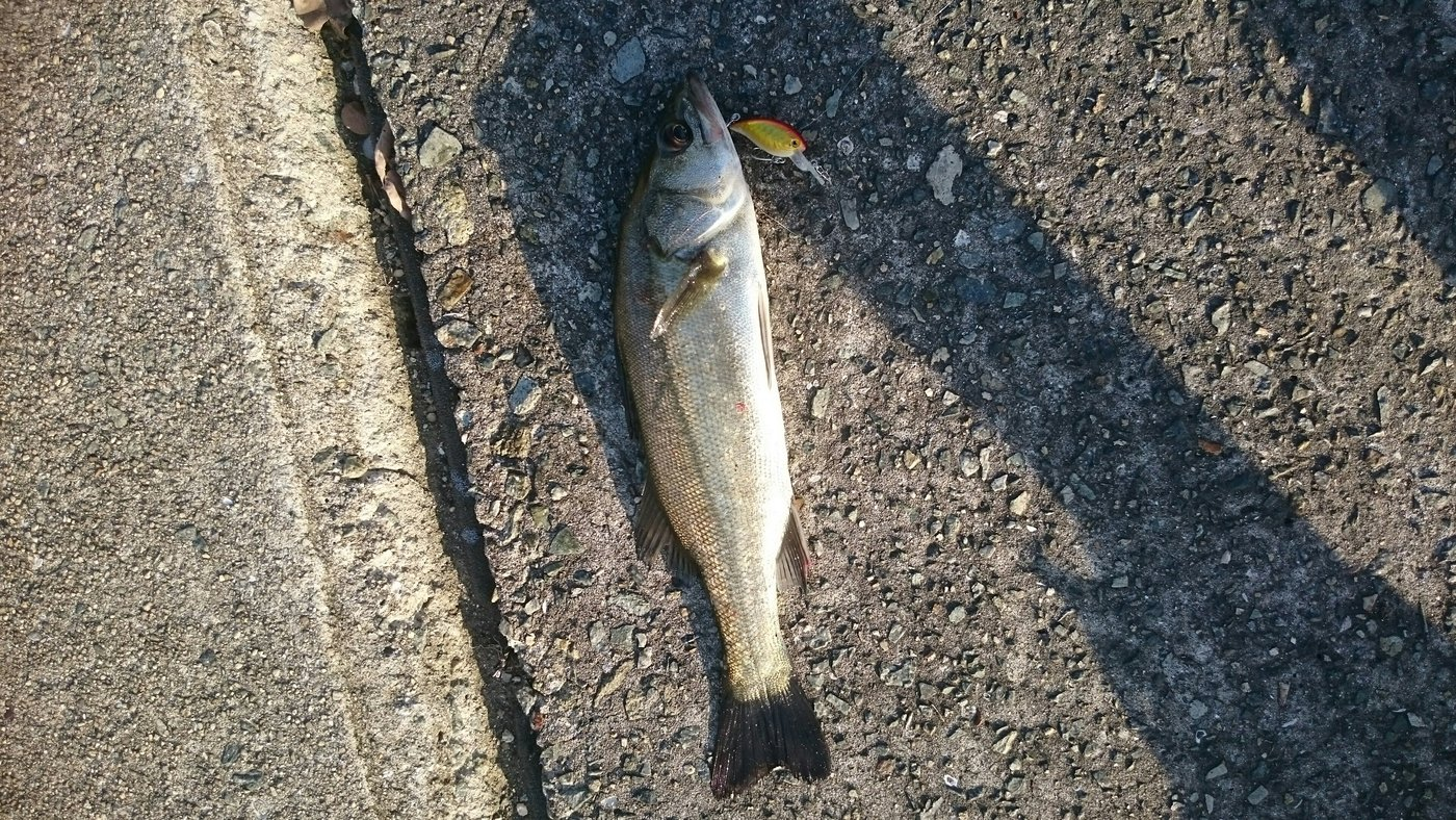 市場さんの投稿画像,写っている魚はスズキ