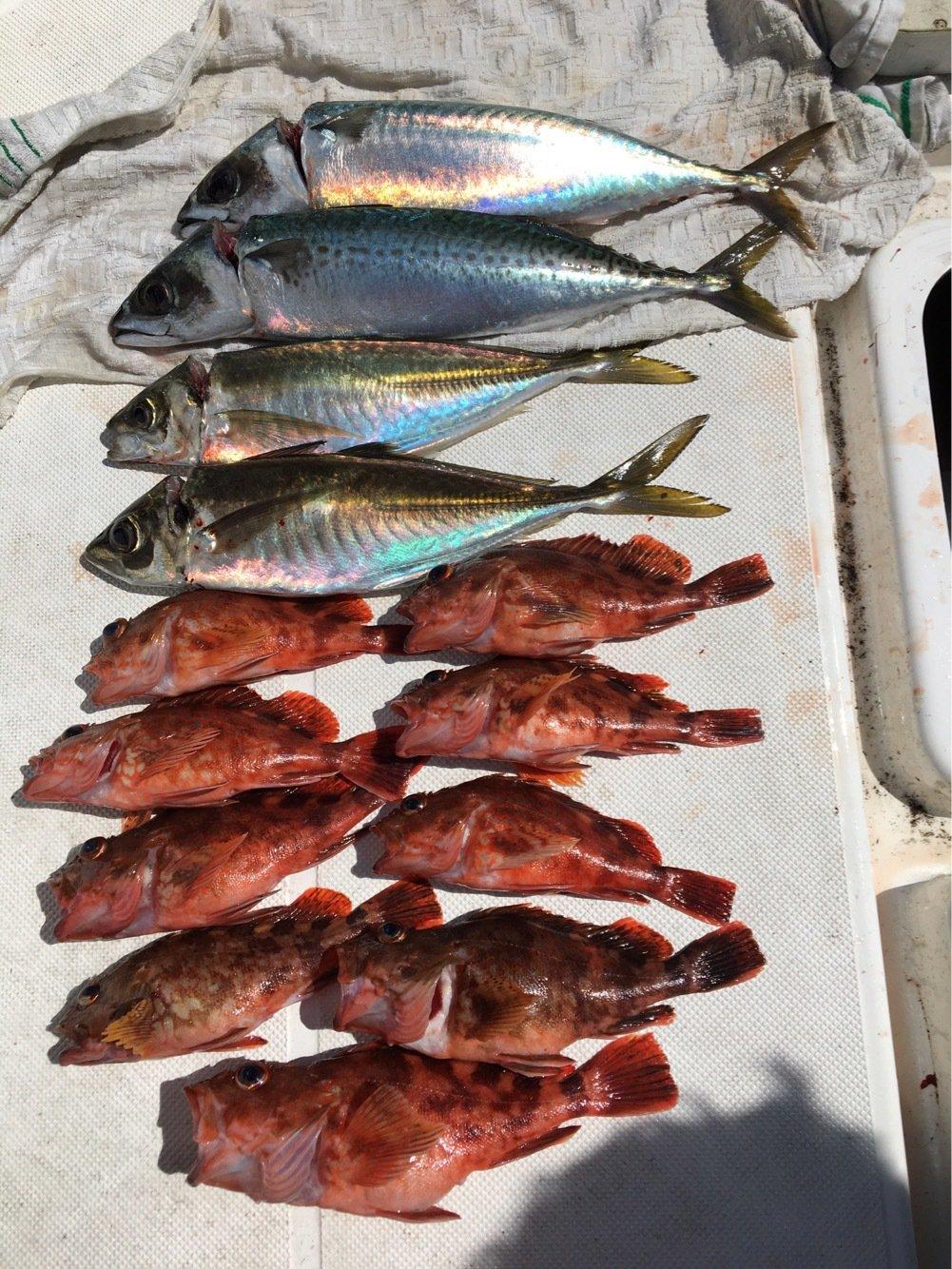 michiさんの投稿画像,写っている魚はマサバ