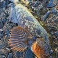 Enoさんの北海道積丹郡での釣果写真