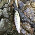 てつおTVさんの埼玉県秩父郡での釣果写真