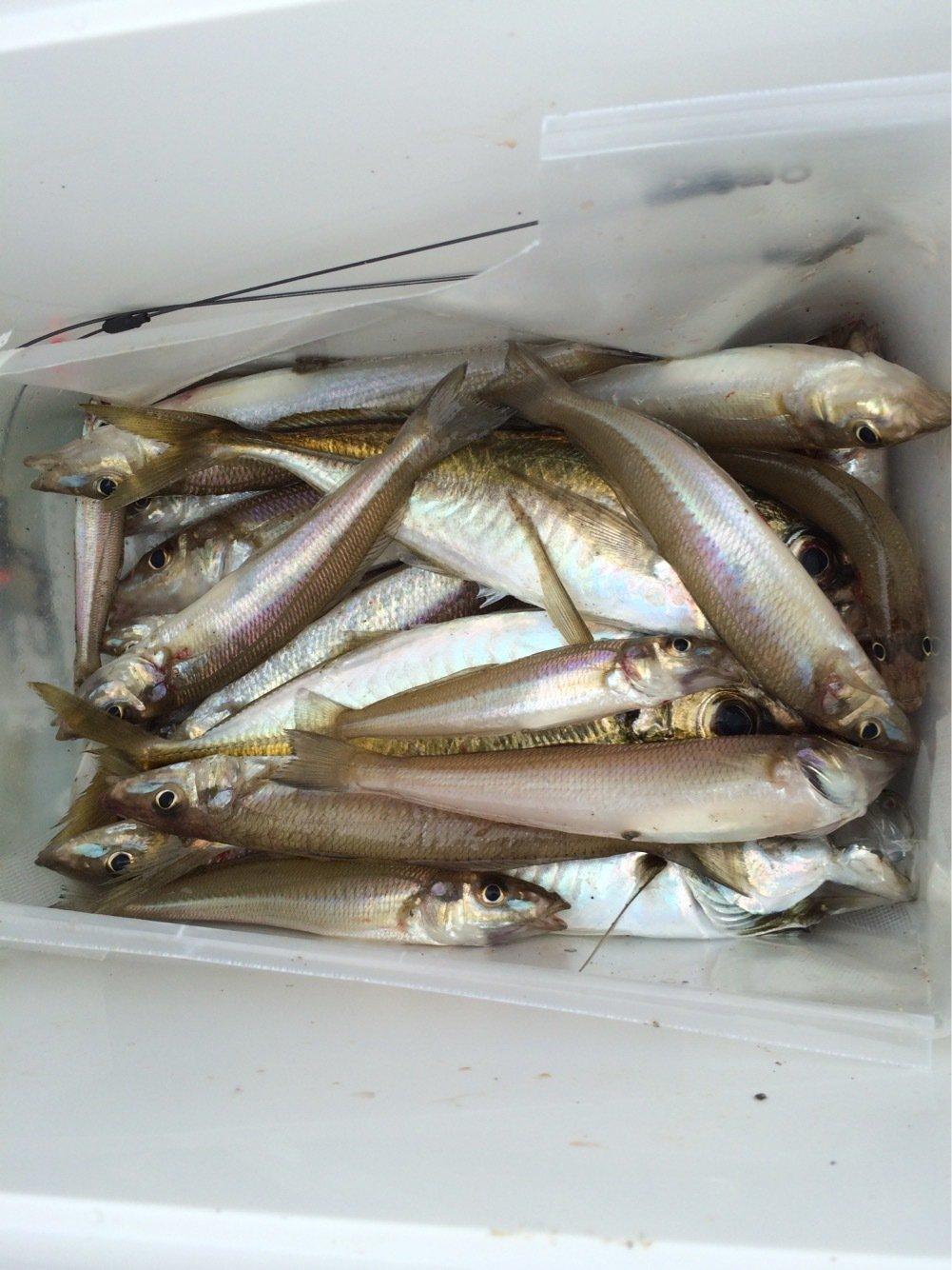 もぐもぐさんの投稿画像,写っている魚はシロギス