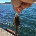 ススキさんの北海道山越郡での釣果写真