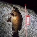 あきもっちゃんさんの青森県西津軽郡でのメバルの釣果写真
