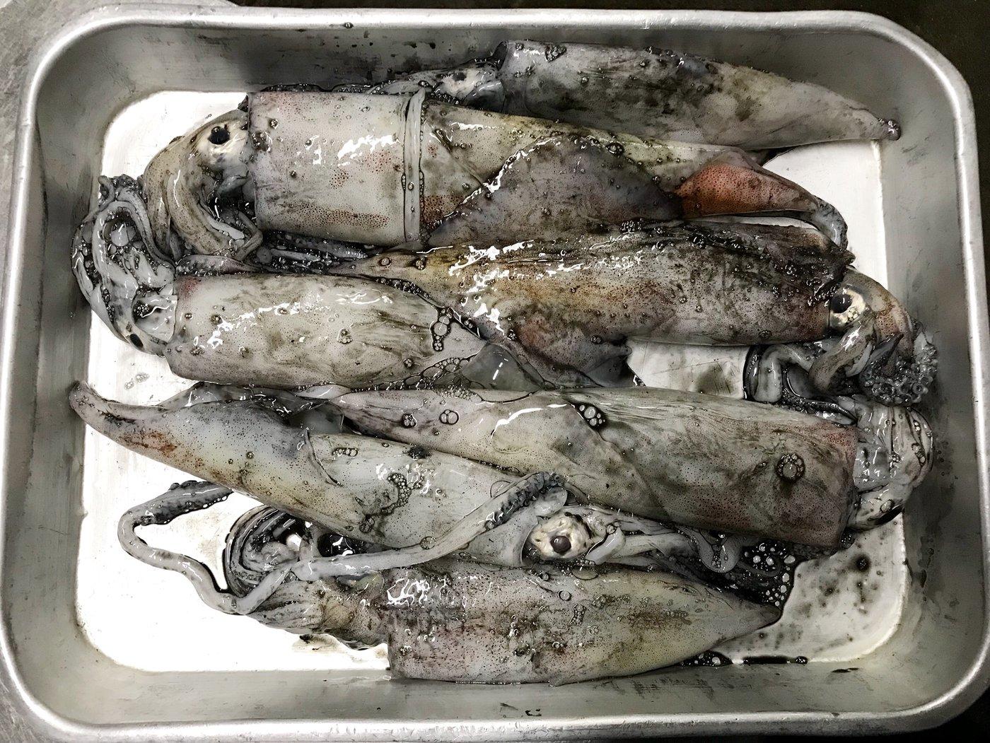 イーグルさんの投稿画像,写っている魚は,ケンサキイカ