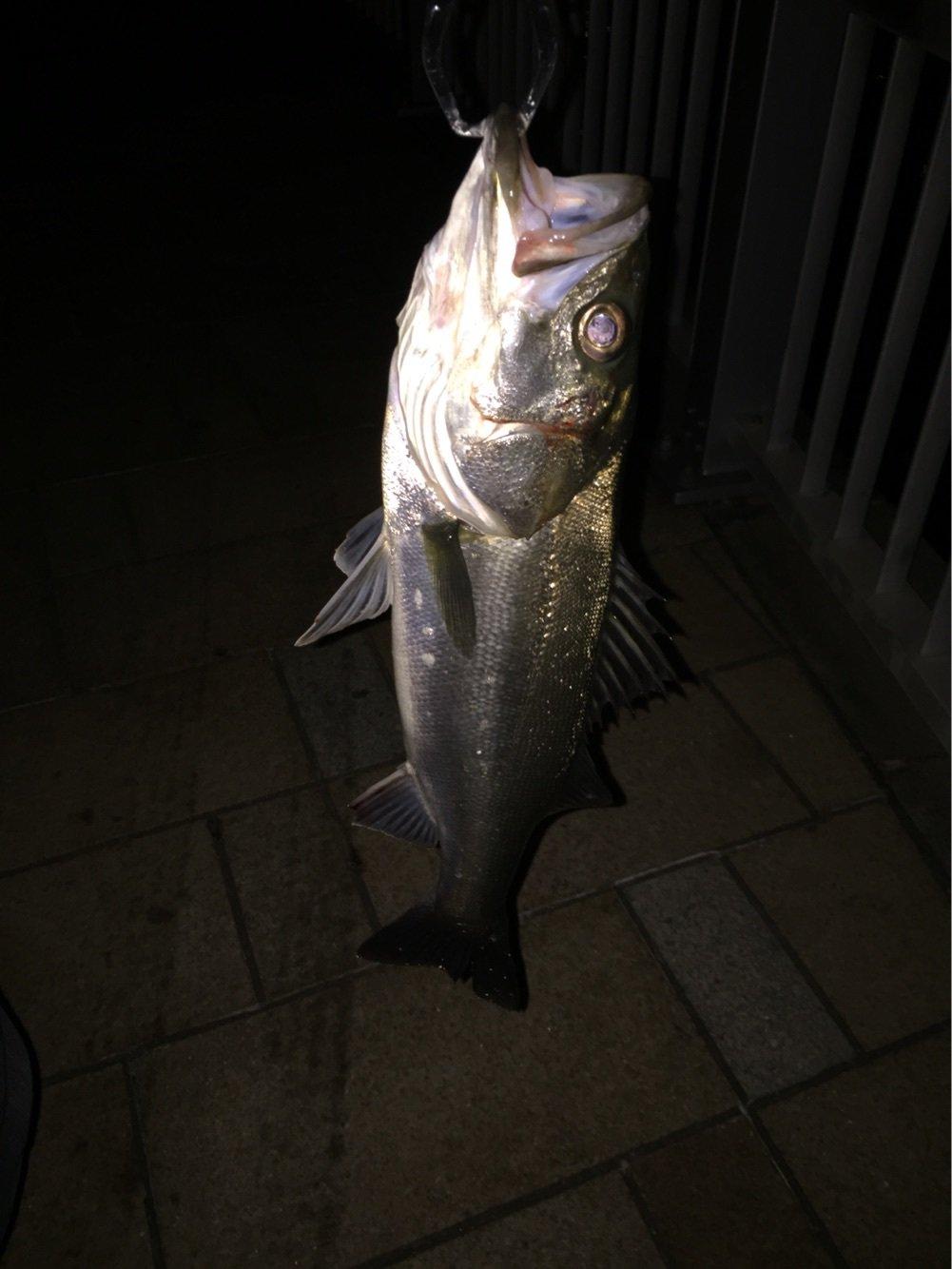 ataruさんの投稿画像,写っている魚はスズキ