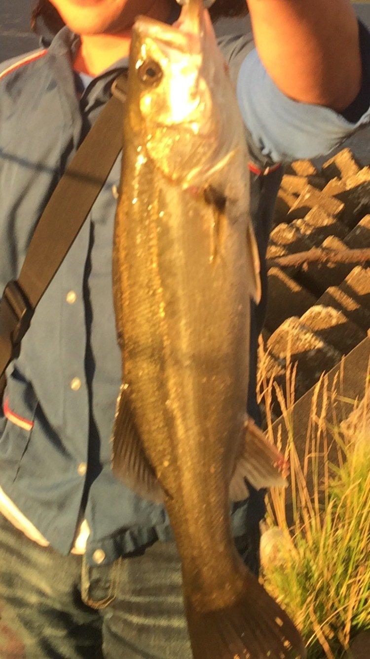 ハラワタさんの投稿画像,写っている魚はスズキ