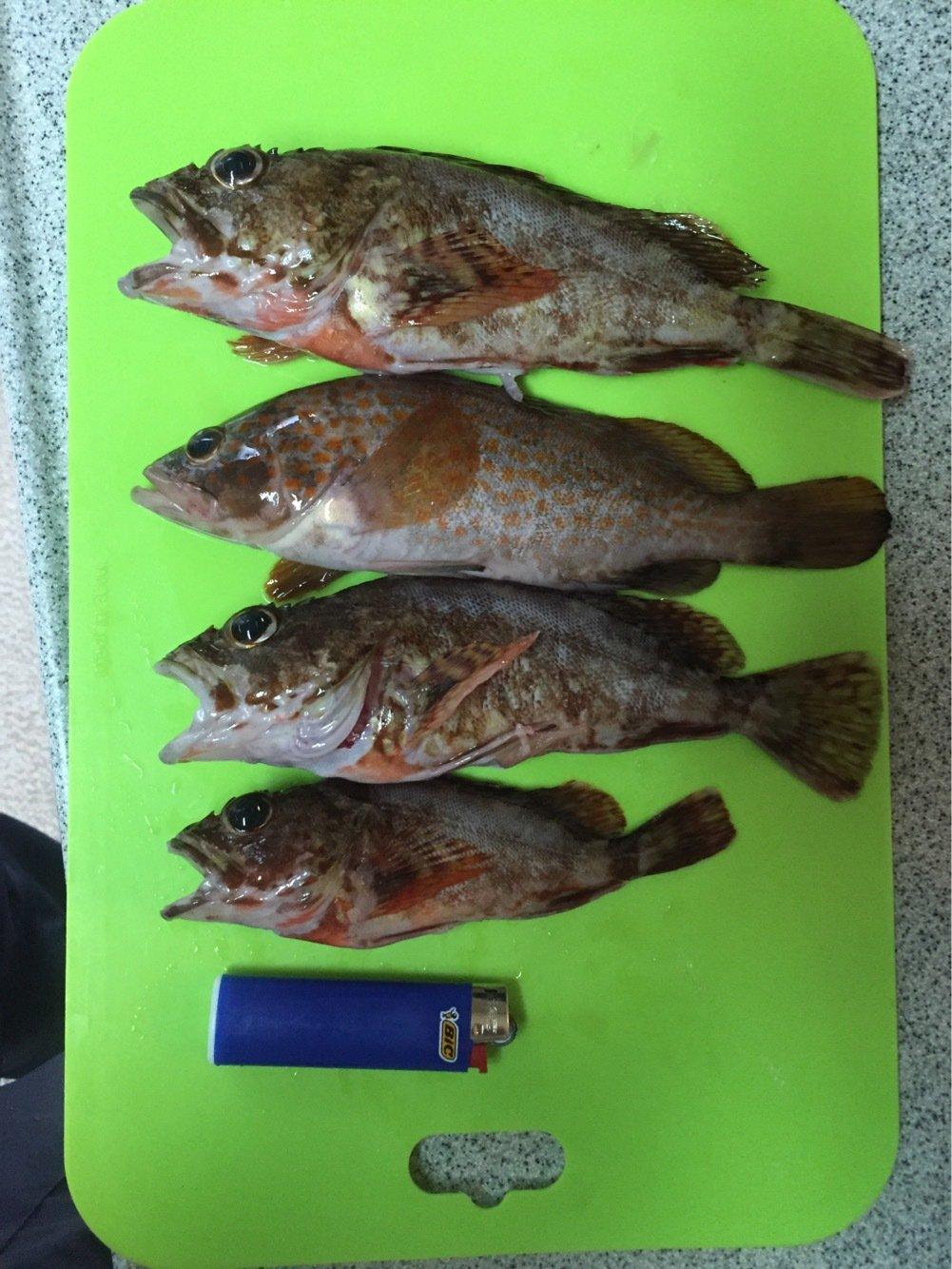 Kotaさんの投稿画像,写っている魚はメバル