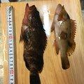 ちょくとさんの香川県観音寺市での釣果写真