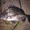 マーシーさんの千葉県習志野市でのクロダイの釣果写真