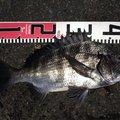 御伽さんの鹿児島県奄美市でのクロダイの釣果写真