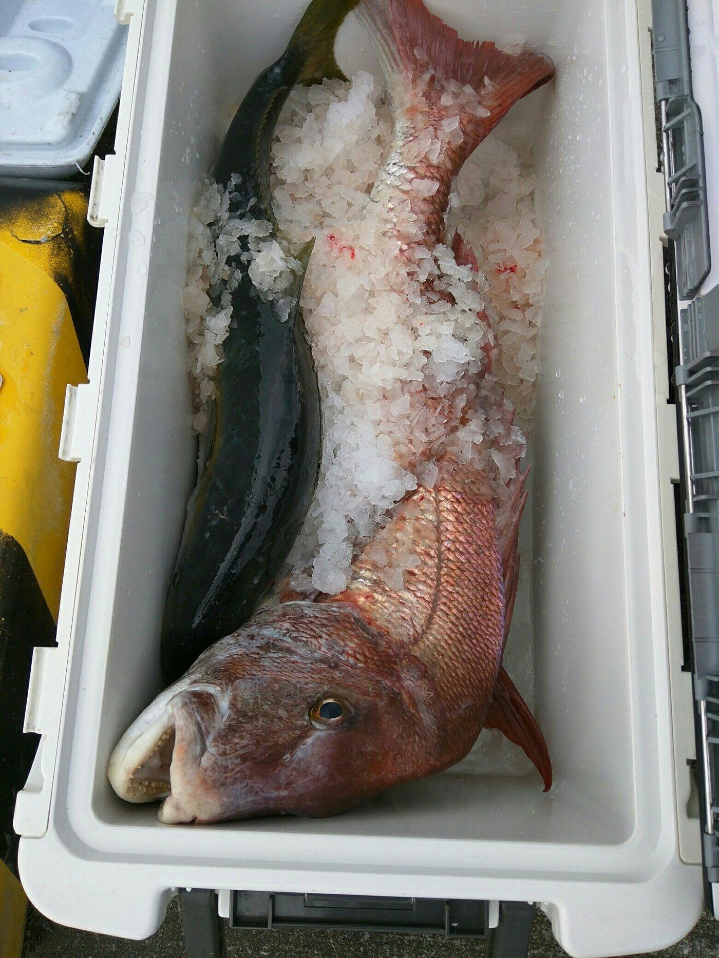 きよしんさんの投稿画像,写っている魚はマダイ