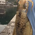 abendrotさんの三重県熊野市でのアオリイカの釣果写真