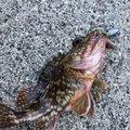 kiiysd13さんの福井県南条郡での釣果写真