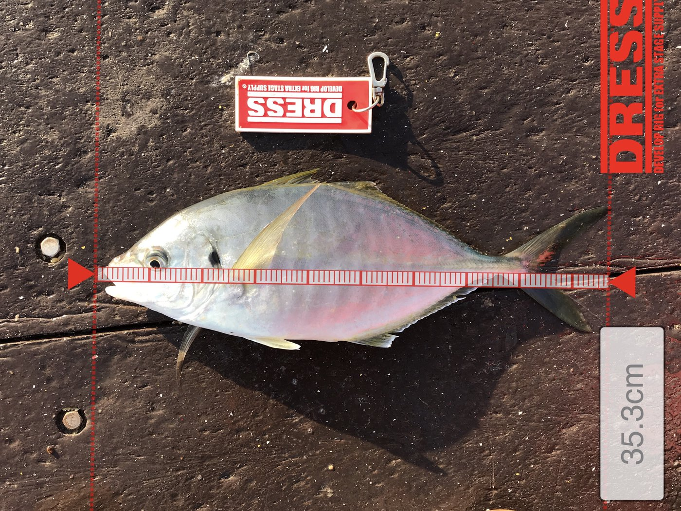 den2さんの投稿画像,写っている魚はシマアジ