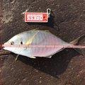 den2さんの高知県四万十市での釣果写真