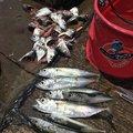 Okai Taxiさんの三重県四日市市でのマサバの釣果写真
