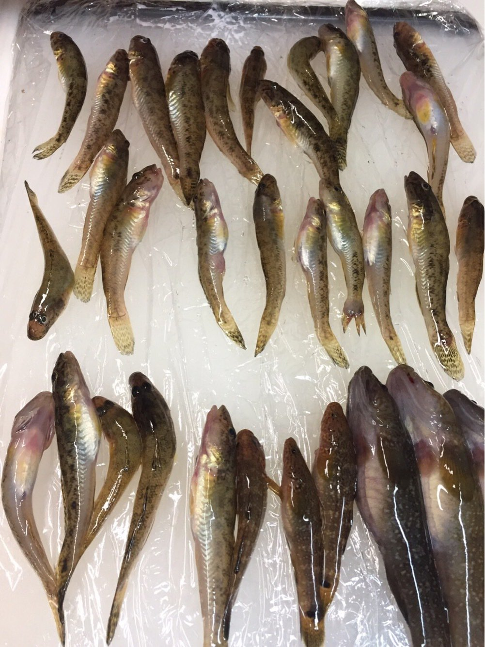 R.Kさんの投稿画像,写っている魚はマハゼ