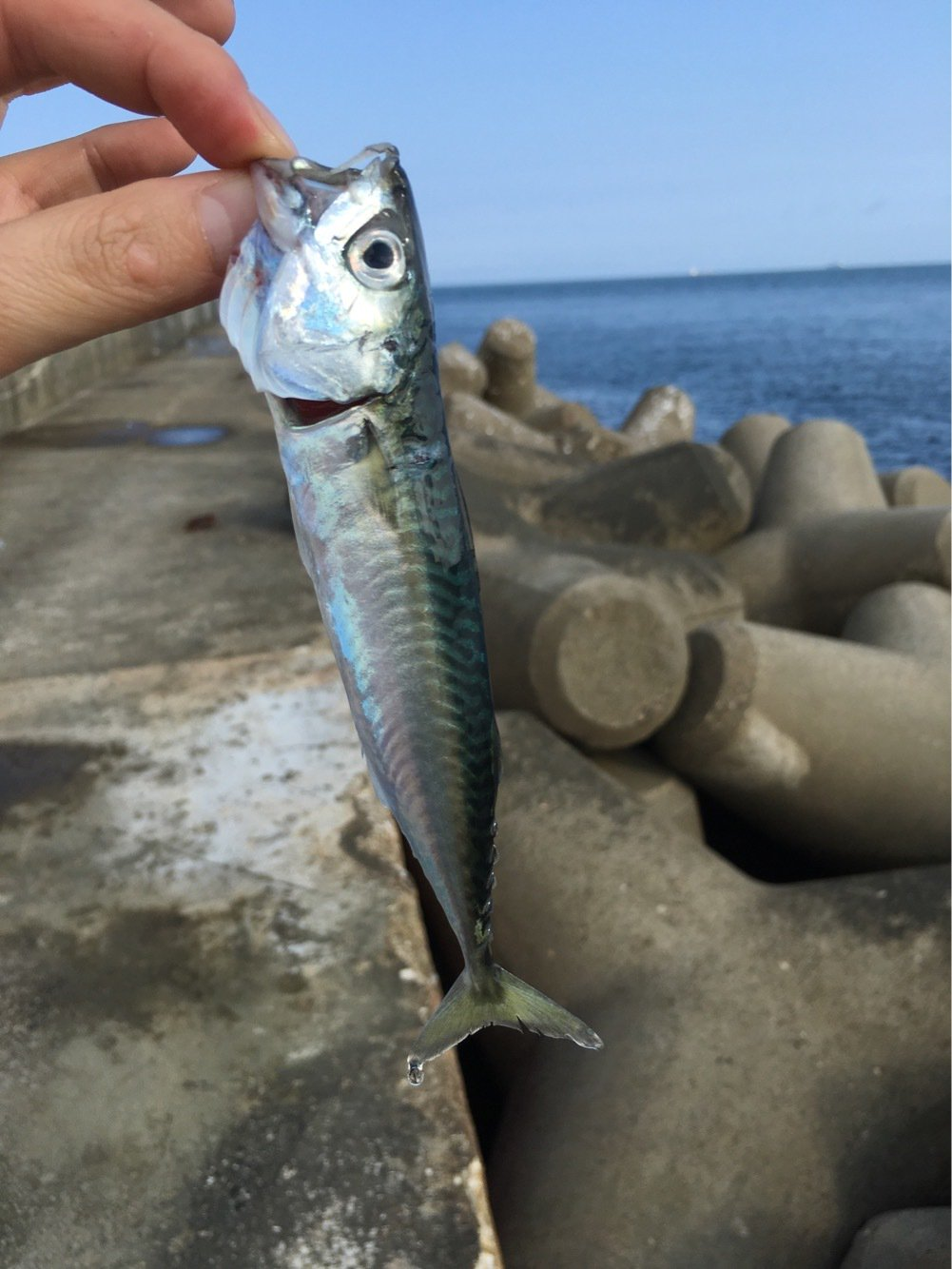 浜焼きさん太郎さんの投稿画像,写っている魚はマサバ