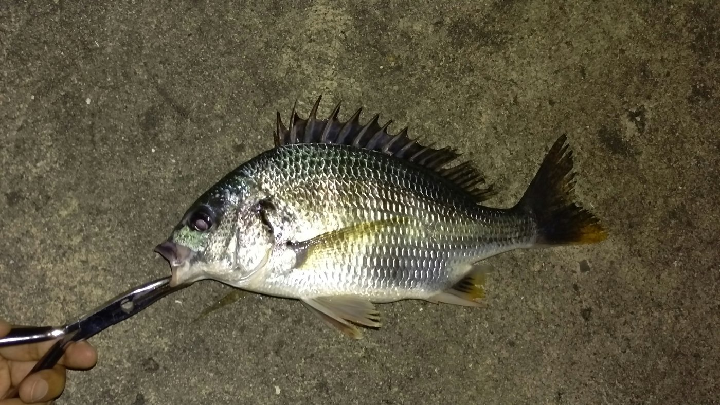 フルフルさんの投稿画像,写っている魚はキチヌ