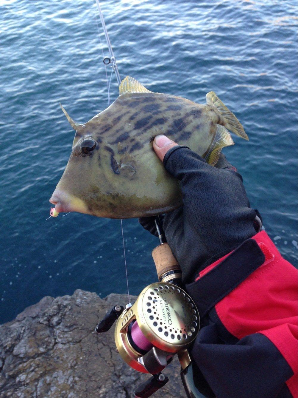 にたやさんの投稿画像,写っている魚はカワハギ