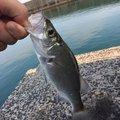 貞坊さんの福岡県遠賀郡でのスズキの釣果写真