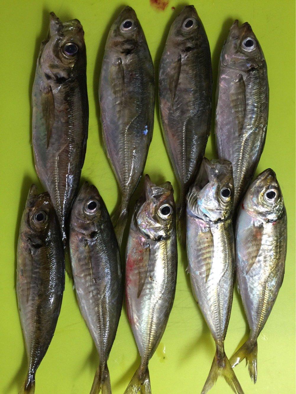 Keychさんの投稿画像,写っている魚はアジ