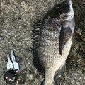 ケンさんの広島県でのクロダイの釣果写真