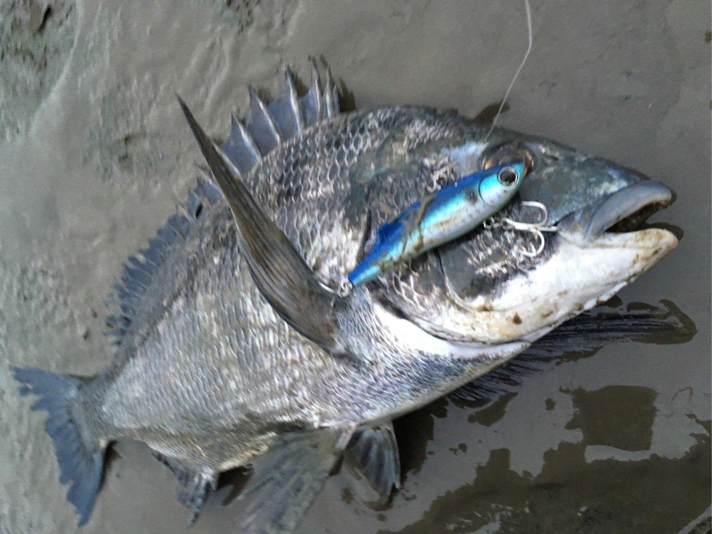 ひょーどるさんの投稿画像,写っている魚はクロダイ