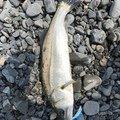 釣り人マナー向上 うーすさんの静岡県静岡市でのスズキの釣果写真