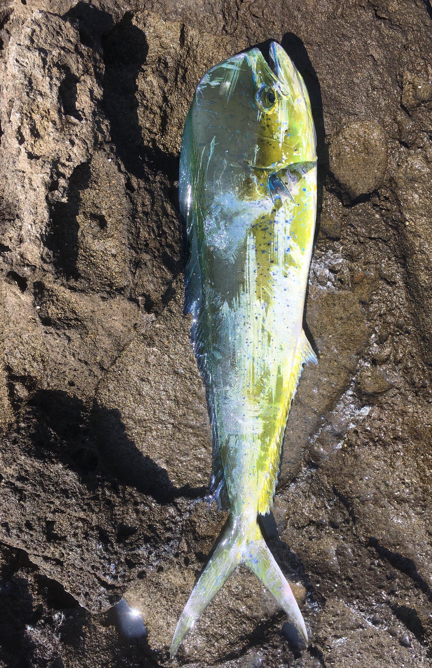 チョコさんの投稿画像,写っている魚はシイラ