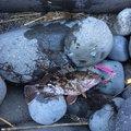 まささんの静岡県伊豆市でのカサゴの釣果写真