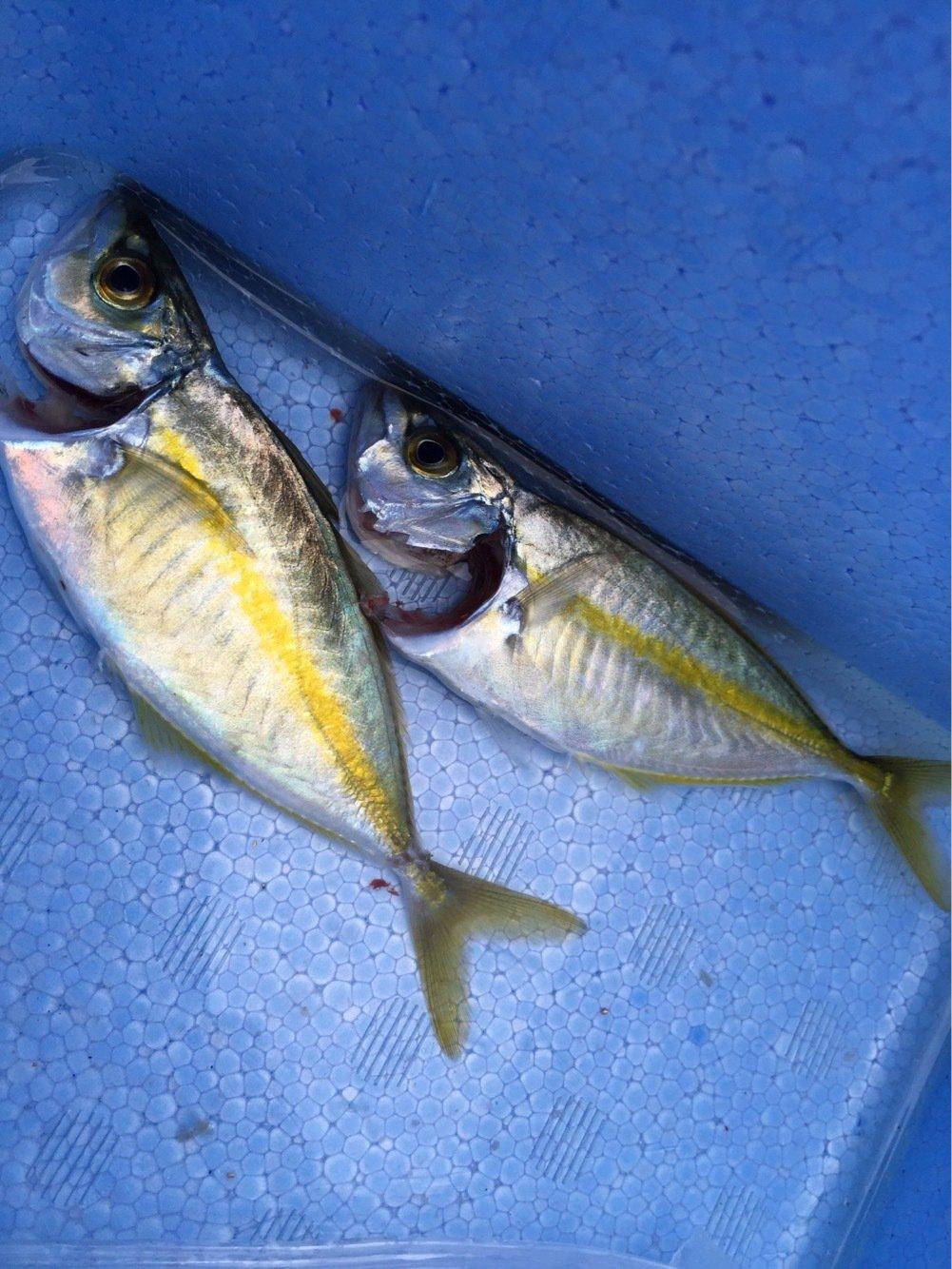 totoshyさんの投稿画像,写っている魚はシマアジ