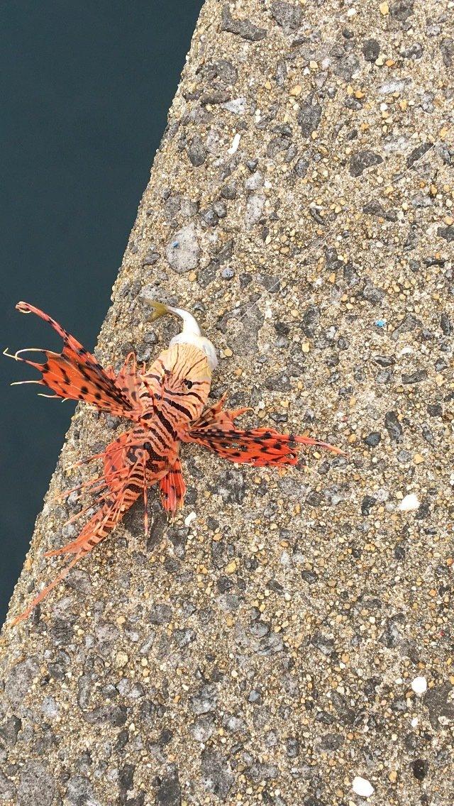 柴田さんの投稿画像,写っている魚はミノカサゴ