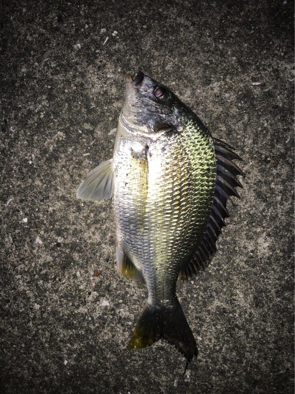 マリさんの投稿画像,写っている魚はクロダイ