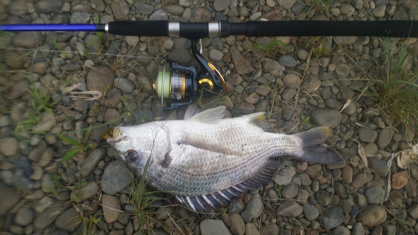 宮崎 シーバス童貞さんの投稿画像,写っている魚はキチヌ