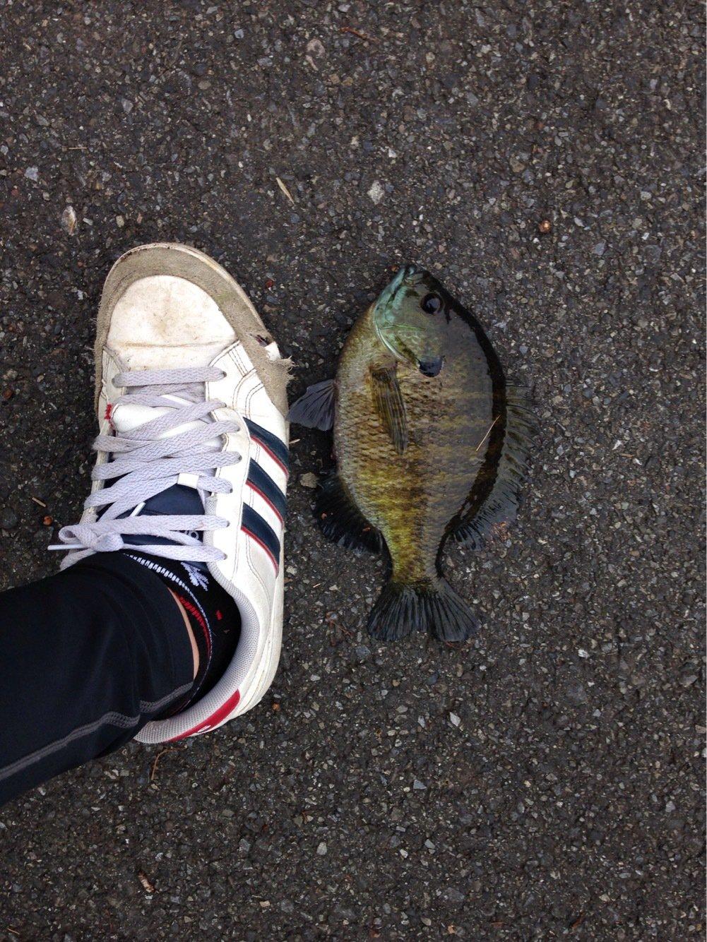ヒルネさんの投稿画像,写っている魚はブルーギル