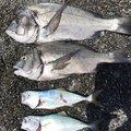 バンボさんの静岡県沼津市でのクロダイの釣果写真