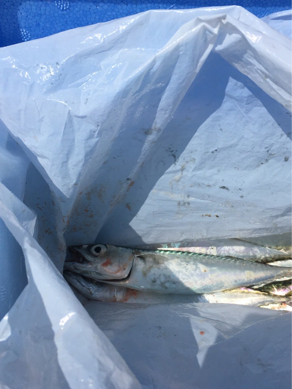 そうまさんの投稿画像,写っている魚はマサバ