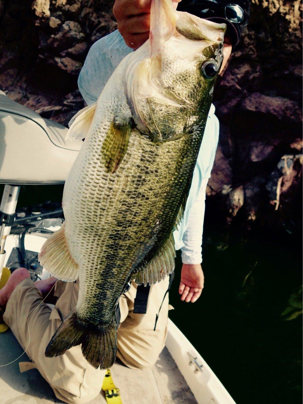 TOMOさんの投稿画像,写っている魚はブラックバス