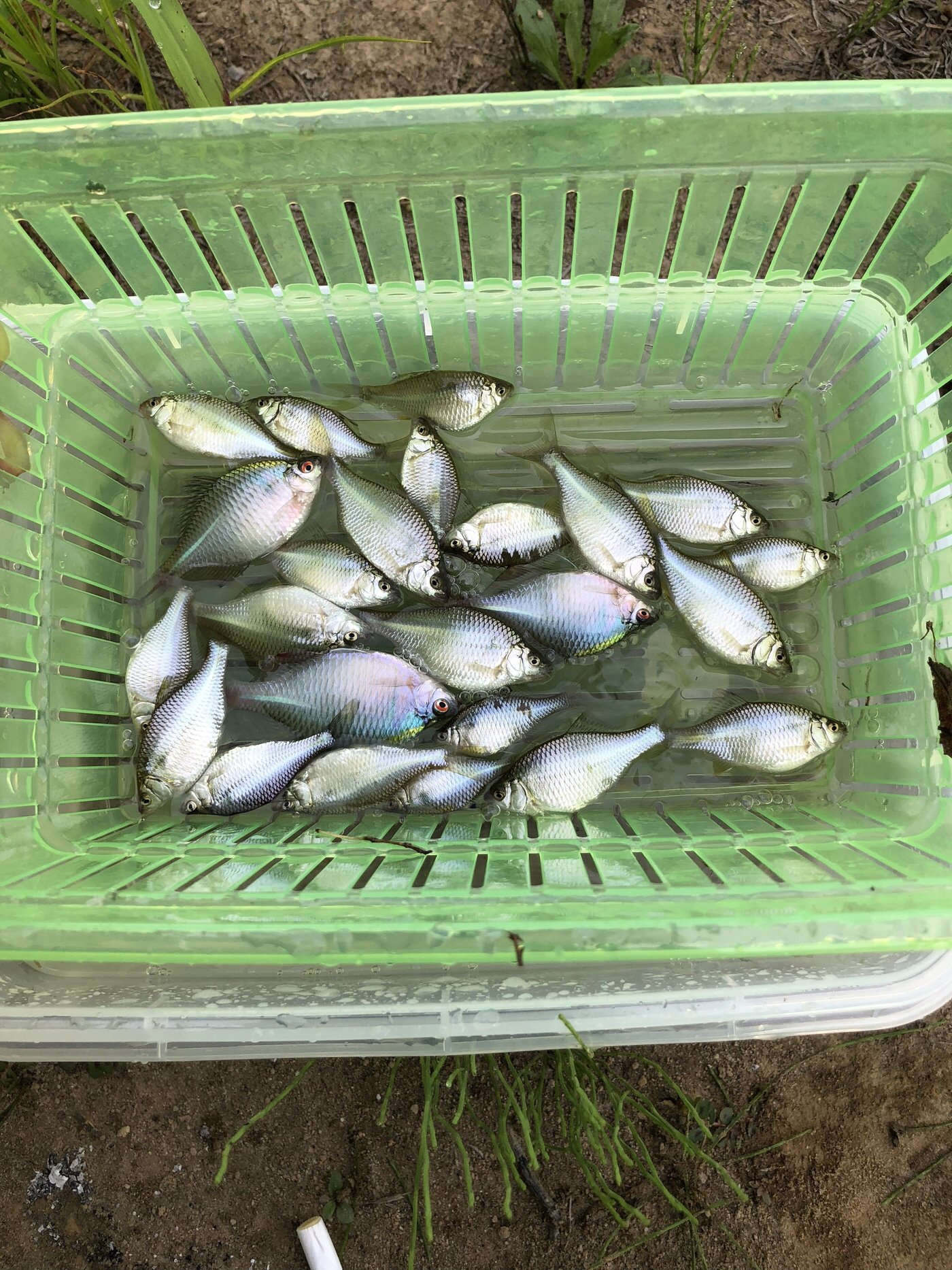 ゆうくんさんの投稿画像,写っている魚はタイリクバラタナゴ,カネヒラ