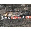 ゆりさんの北海道苫小牧市でのアイナメの釣果写真