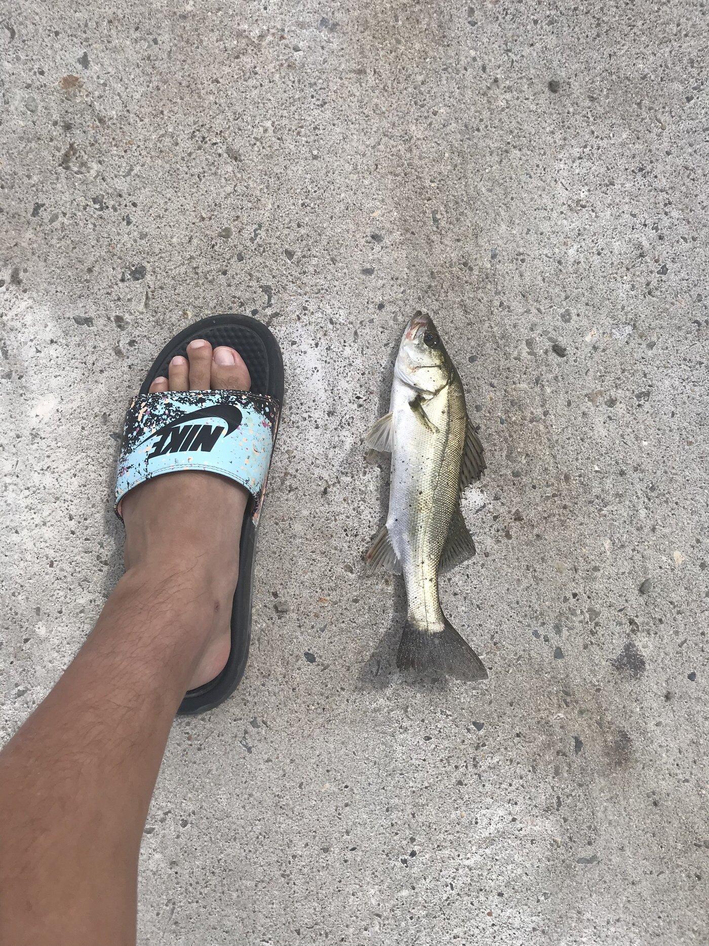 よしきさんの投稿画像,写っている魚はスズキ
