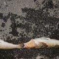 fziwaraさんの岩手県下閉伊郡での釣果写真