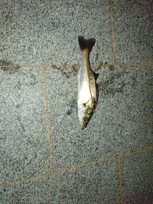 釣りきちさんの投稿画像,写っている魚はスズキ