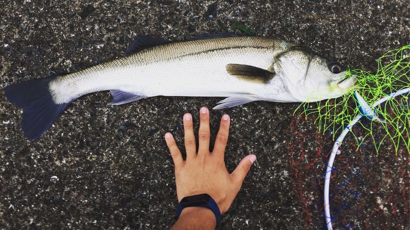 kensukekさんの投稿画像,写っている魚はスズキ