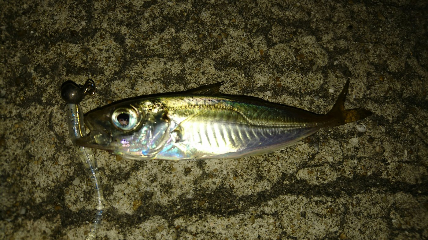 まーぼーさんの投稿画像,写っている魚はアジ