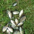 しんパパさんの青森県つがる市でのブルーギルの釣果写真