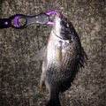 がーくんさんの兵庫県尼崎市でのメバルの釣果写真